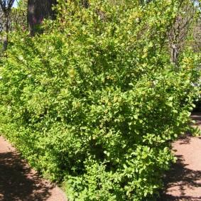 Летняя окраска листвы на барбарисе обыкновенном