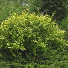 Раскидистый куст многолетнего кустарника