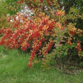 Повислые ветки с листьями бардового окраса