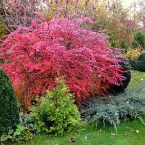 Яркий куст листопадного кустарника