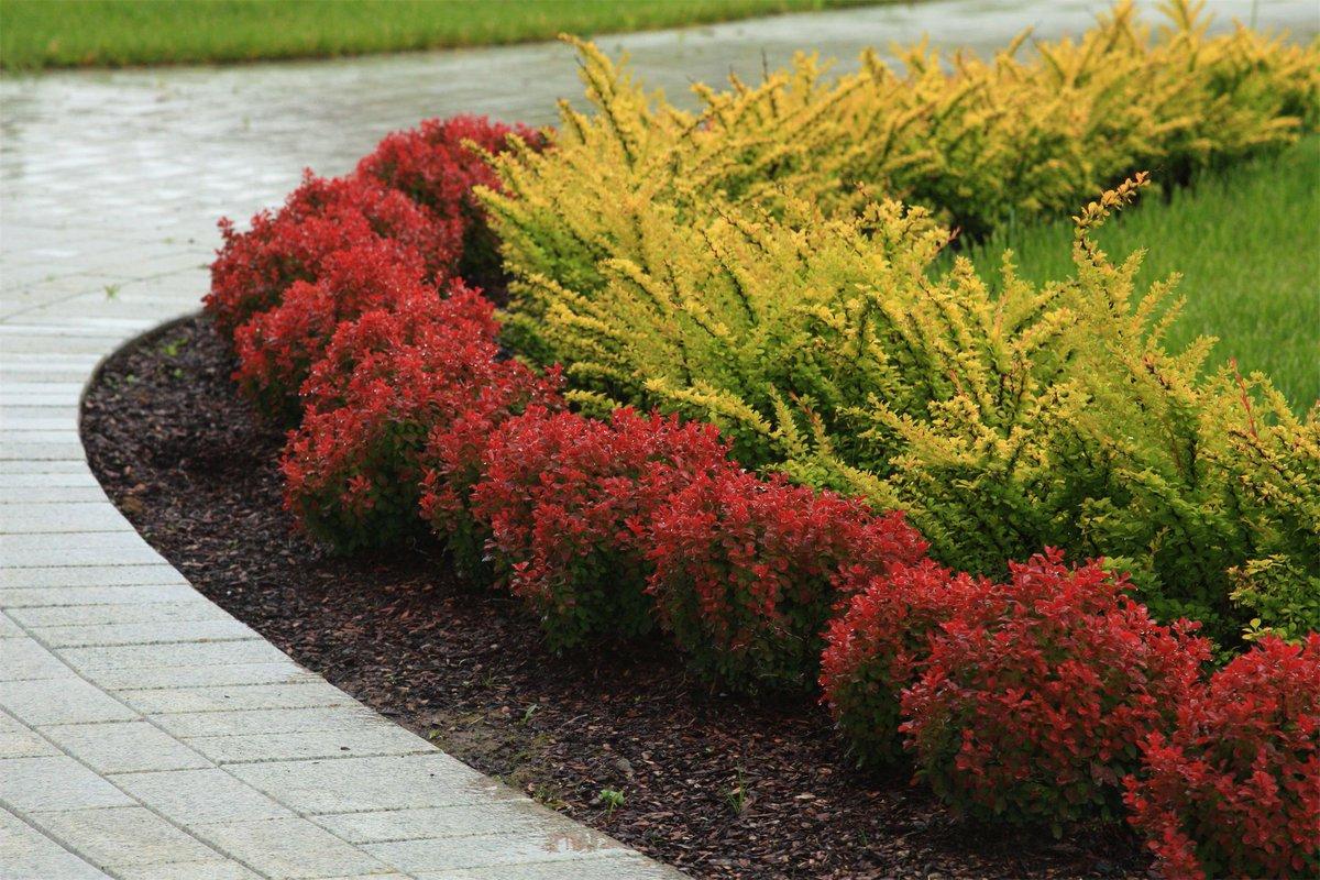 барбарис с какими растениями садить фото различных сливовых оттенков