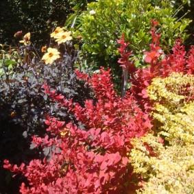 Садовая композиция из барбарисов разных сортов