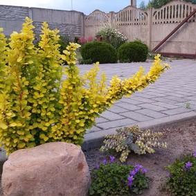 Барбарис с желтой листвой во дворе частного дома