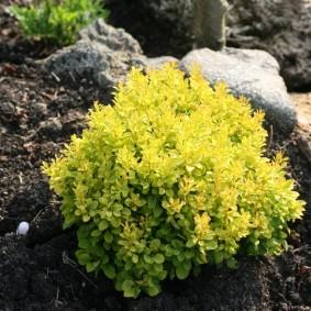 Карликовый барбарис с желтыми листьями