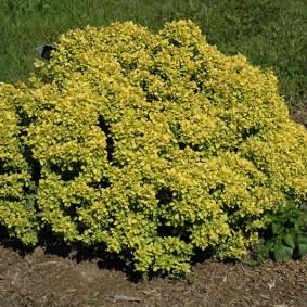 Низкорослый кустарник с желто-зелеными листьями