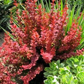 Длинные ветки кустарника с бардовыми листьями