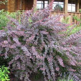 Рослый куст барбариса перед деревянным крыльцом