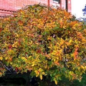 Пожелтение листьев на барбарисе в осенний период