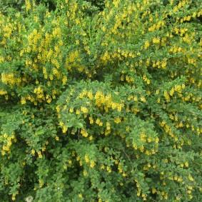 Желтые цветки на барбарисе в конце мая