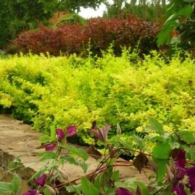 Зеленые кустики барбариса амурского