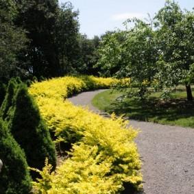 Живая изгородь из барбариса с желтыми листьями