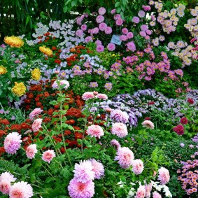 Астры в ландшафтном дизайне садового участка