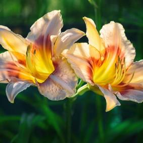 Красивые цветки гибридного лилейника