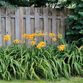 Желтые лилейники вдоль деревянного забора
