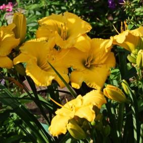 Ярко-желтые цветки с крупными лепестками