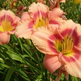 Яркая окраска цветка гибридного лилейника