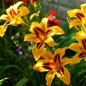 Желто-бардовые цветки среднего размера