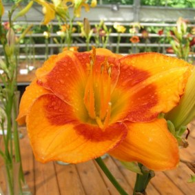 Гибридный лилейник сорта Оранжевый