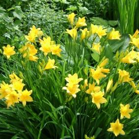 Желтые цветы с длинными листьями