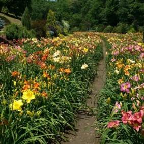 Целое поле цветущих лилейников разных сортов