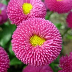 Фото трубчатой астры розового цвета