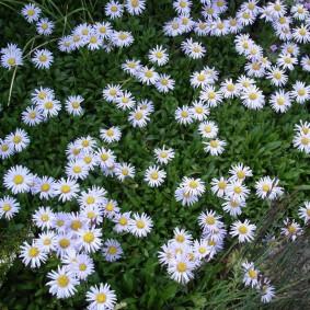 Мелкие цветки с желтой сердцевиной