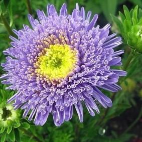 Сиреневый цветок с желтой сердцевиной