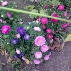 Фото летнецветущих астр на садовом участке