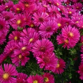 Бардовые цветки на кустах садовых растений