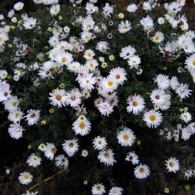 Белые цветки с сердцевиной желтого оттенка