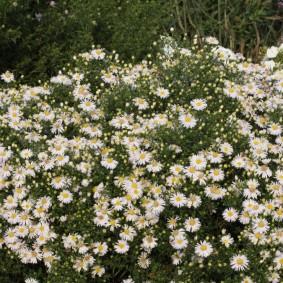 Мелкоцветковые астры на загородном участке