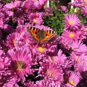 Пестрая бабочка на цветке сортовой астры