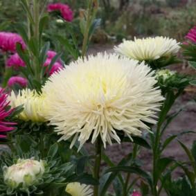 Шарообразный цветок махрового типа