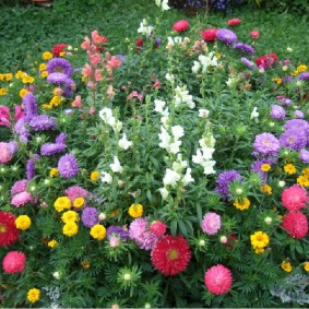 Гармоничное сочетание астр с другими цветами на садовой клумбе