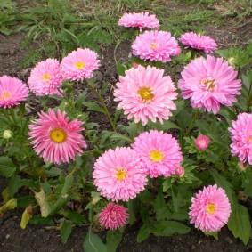 Нежно-розовые цветки на длинных стебельках