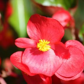 Розовые лепестки на цветке садовой бегонии
