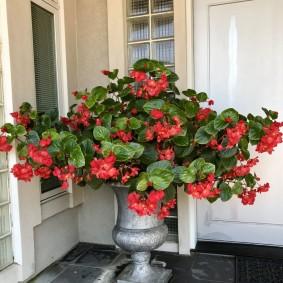 Садовый вазон с красиво цветущей бегонией