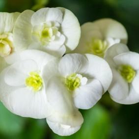 Белые цветки бегонии гибридного вида