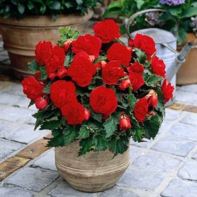 Красная бегония с махровыми цветками