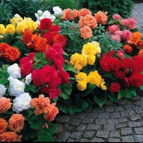 Роскошные цветы с махровыми бутонами