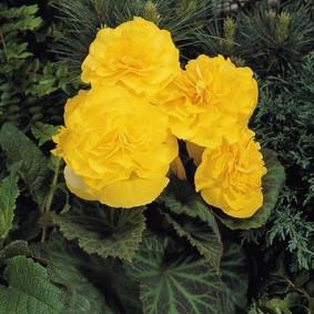 Желтые цветки на кустике с зелеными листочками