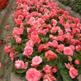 Грядка с бегониями розового окраса
