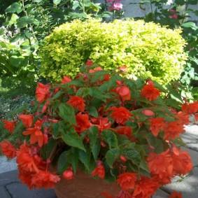 Вечноцветущая бегония с фигурными цветками