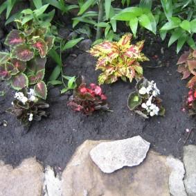 Комнатная бегония на садовой клумбе