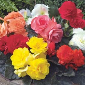 Садовая бегония в период обильного цветения