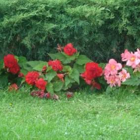 Карликовая бегония перед хвойными растениями