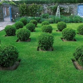 Шарообразные кустики из вечнозеленых растений
