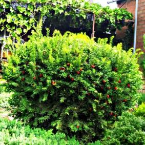 Декоративный кустарник с красными ягодами