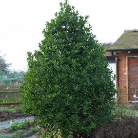 Лавровое дерево на дачном участке