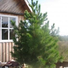 Сибирский кедр около деревянного домика